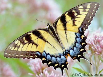 Butterflies of North America Screen Saver and Wall 3.3 screenshot
