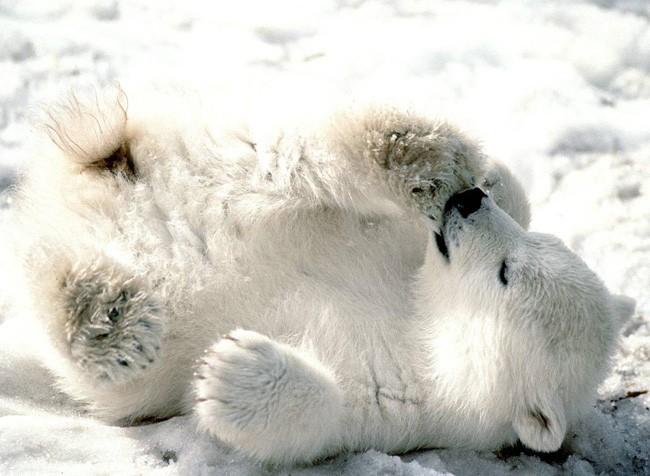 В одном цвете Polar-bears-screensaver